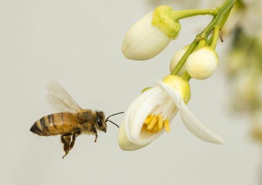 Québec encadre l'usage des pesticides «néonics»